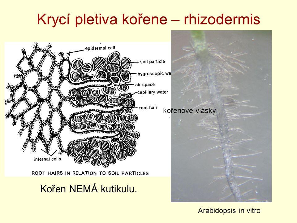 Krycí pletiva kořene – rhizodermis