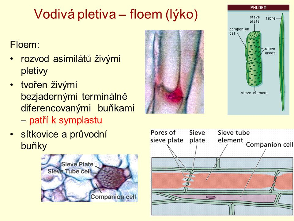 Vodivá pletiva – floem (lýko)