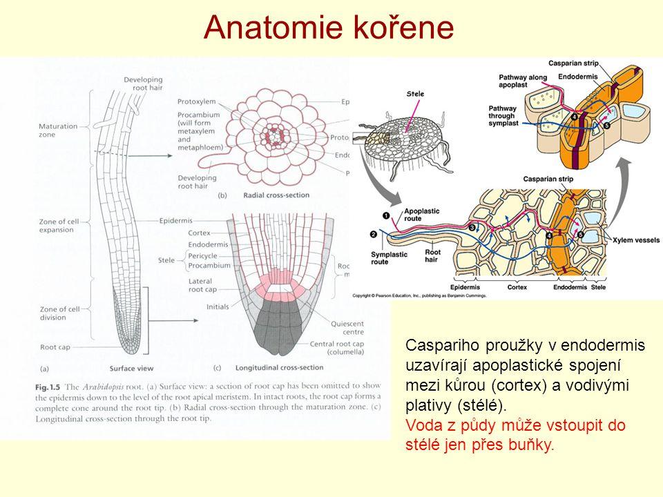 Anatomie kořene Caspariho proužky v endodermis uzavírají apoplastické spojení mezi kůrou (cortex) a vodivými plativy (stélé).