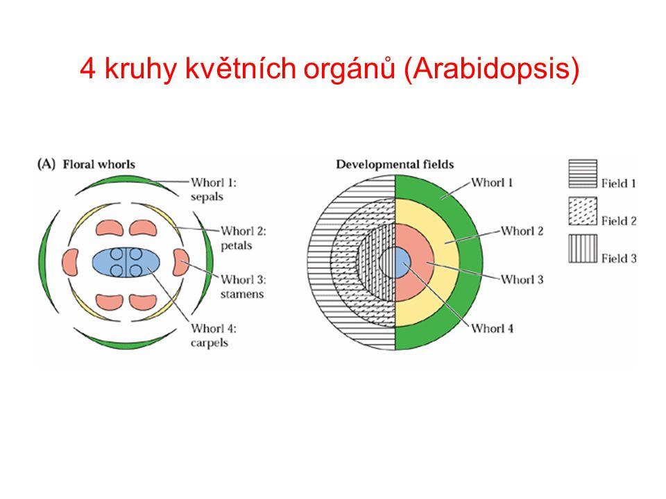 4 kruhy květních orgánů (Arabidopsis)