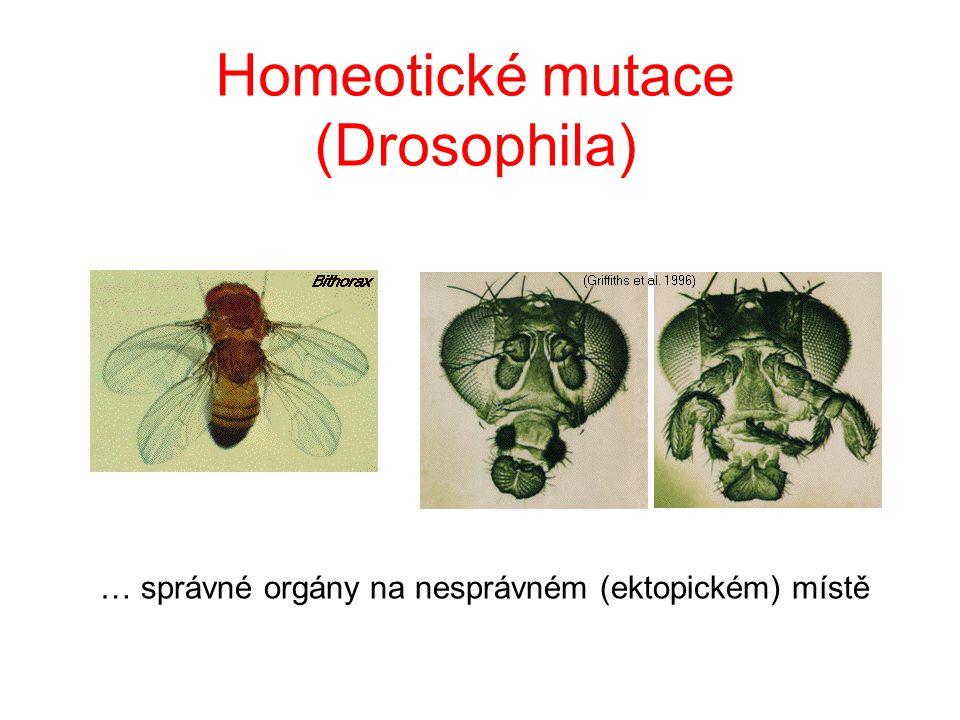 Homeotické mutace (Drosophila)