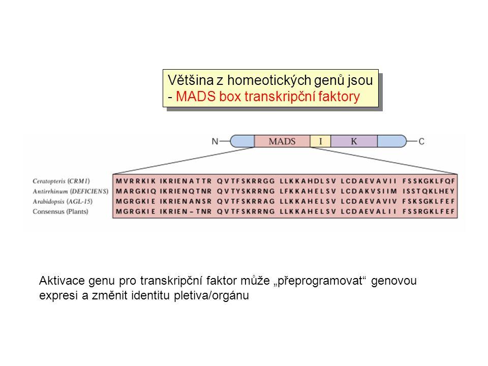 Většina z homeotických genů jsou - MADS box transkripční faktory