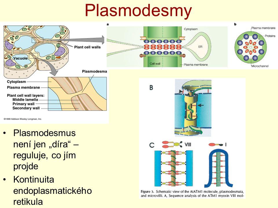 """Plasmodesmy Plasmodesmus není jen """"díra – reguluje, co jím projde"""