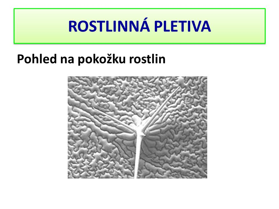 ROSTLINNÁ PLETIVA Pohled na pokožku rostlin