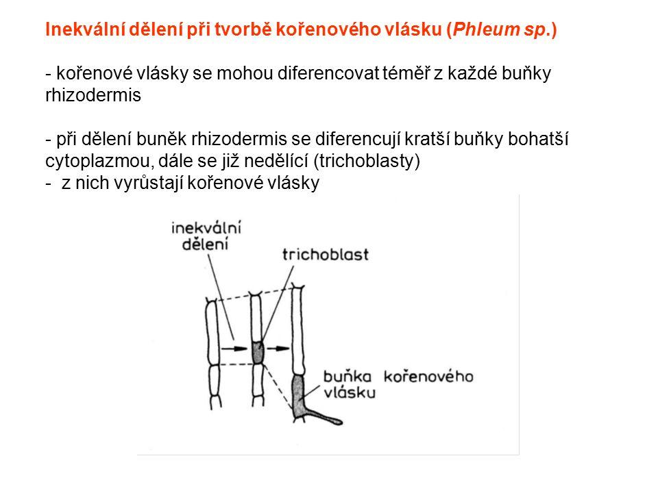 Inekvální dělení při tvorbě kořenového vlásku (Phleum sp