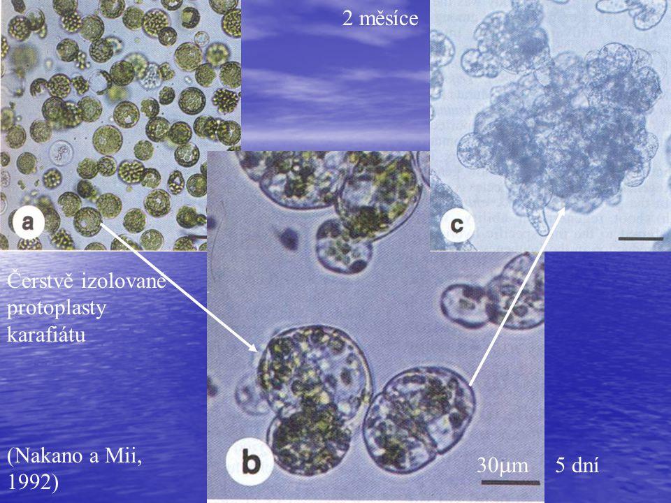 2 měsíce Čerstvě izolované protoplasty karafiátu (Nakano a Mii, 1992) 30m 5 dní