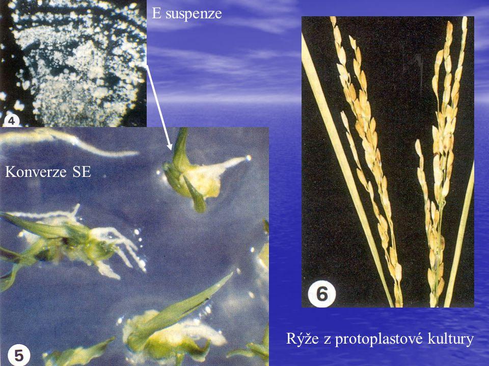 E suspenze Konverze SE Rýže z protoplastové kultury