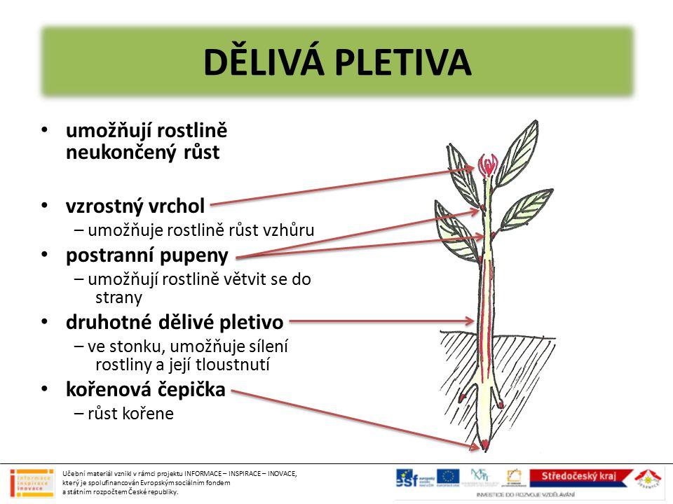 DĚLIVÁ PLETIVA umožňují rostlině neukončený růst vzrostný vrchol