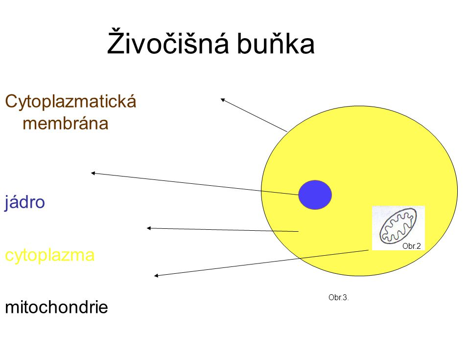 Živočišná buňka Cytoplazmatická membrána jádro cytoplazma mitochondrie