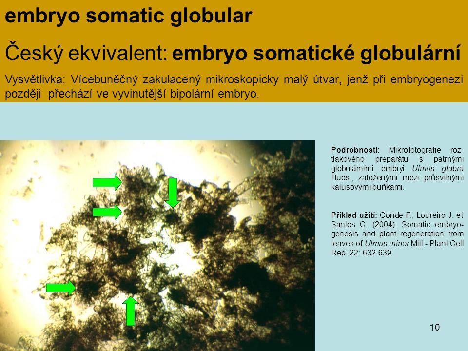 embryo somatic globular Český ekvivalent: embryo somatické globulární