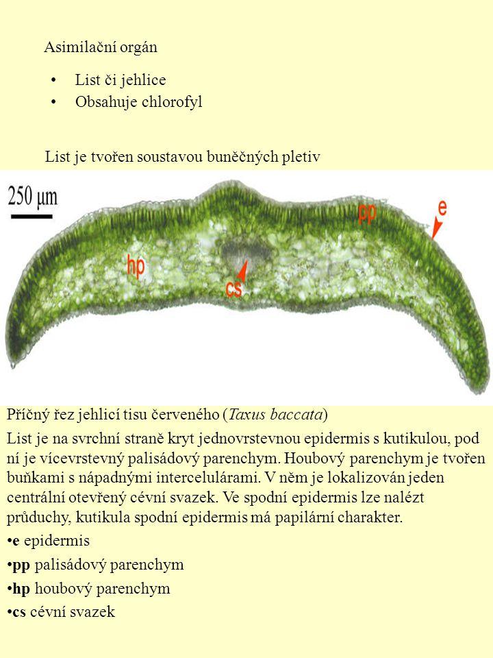 Asimilační orgán List či jehlice. Obsahuje chlorofyl. List je tvořen soustavou buněčných pletiv. Příčný řez jehlicí tisu červeného (Taxus baccata)