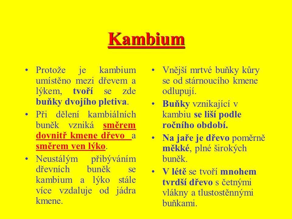 Kambium Protože je kambium umístěno mezi dřevem a lýkem, tvoří se zde buňky dvojího pletiva.