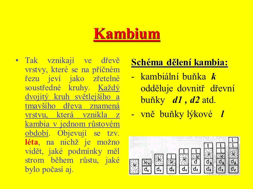 Kambium Schéma dělení kambia: