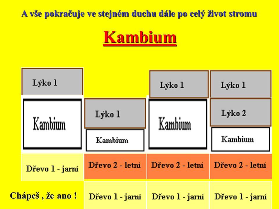Kambium A vše pokračuje ve stejném duchu dále po celý život stromu