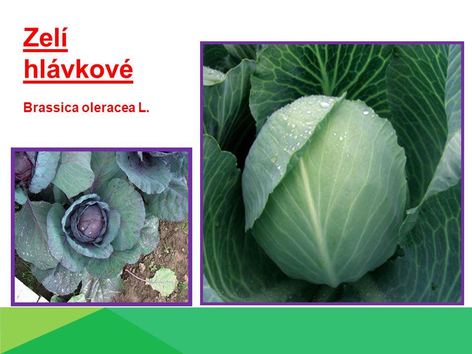 Zelí hlávkové Brassica oleracea L. Zelí hlávkové Brassica olerřacea L.