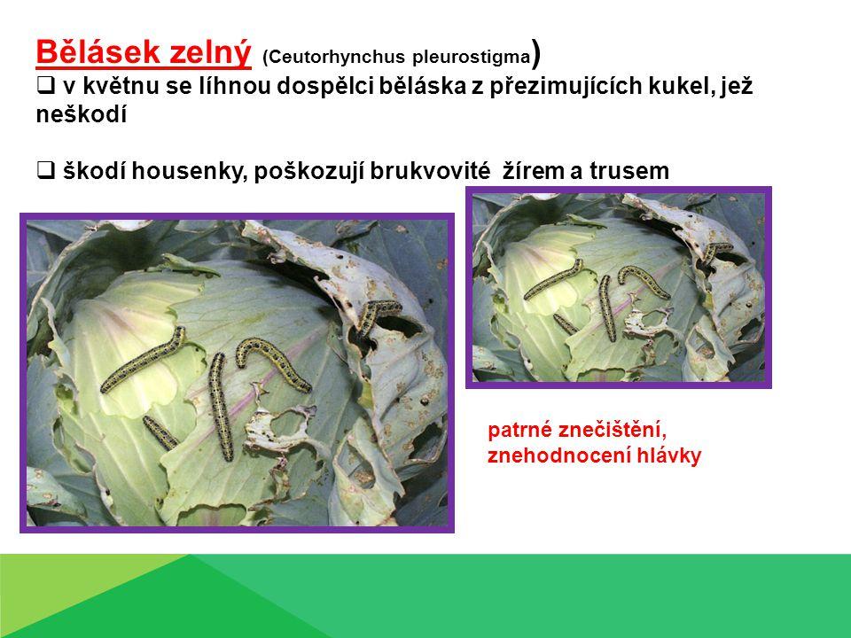 Bělásek zelný (Ceutorhynchus pleurostigma)