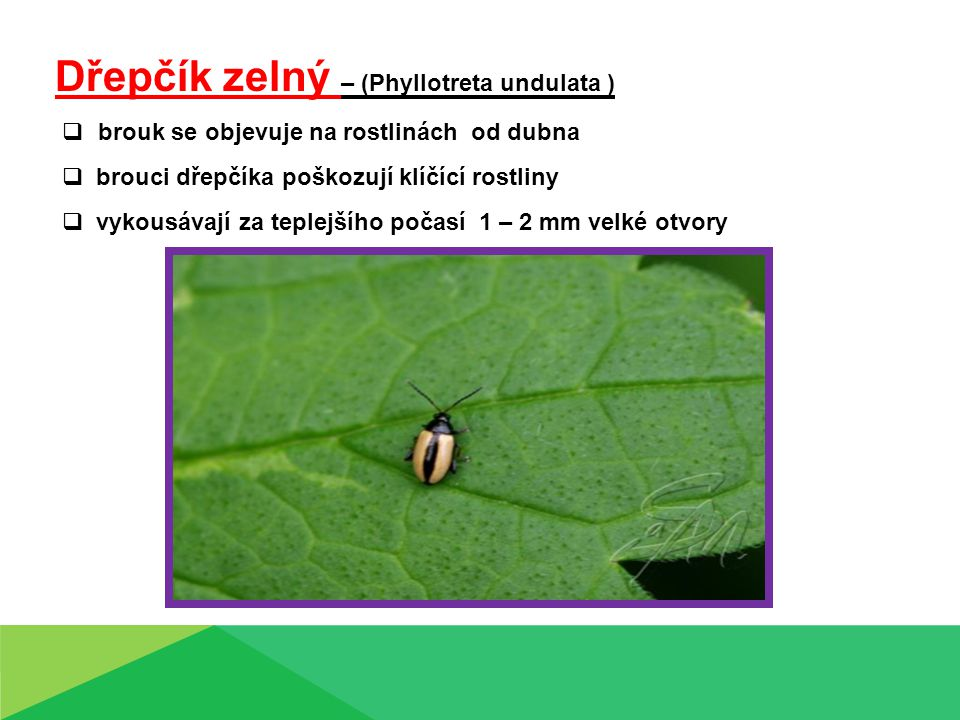 Dřepčík zelný – (Phyllotreta undulata )