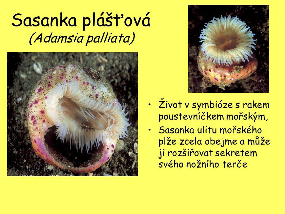 Sasanka plášťová (Adamsia palliata)