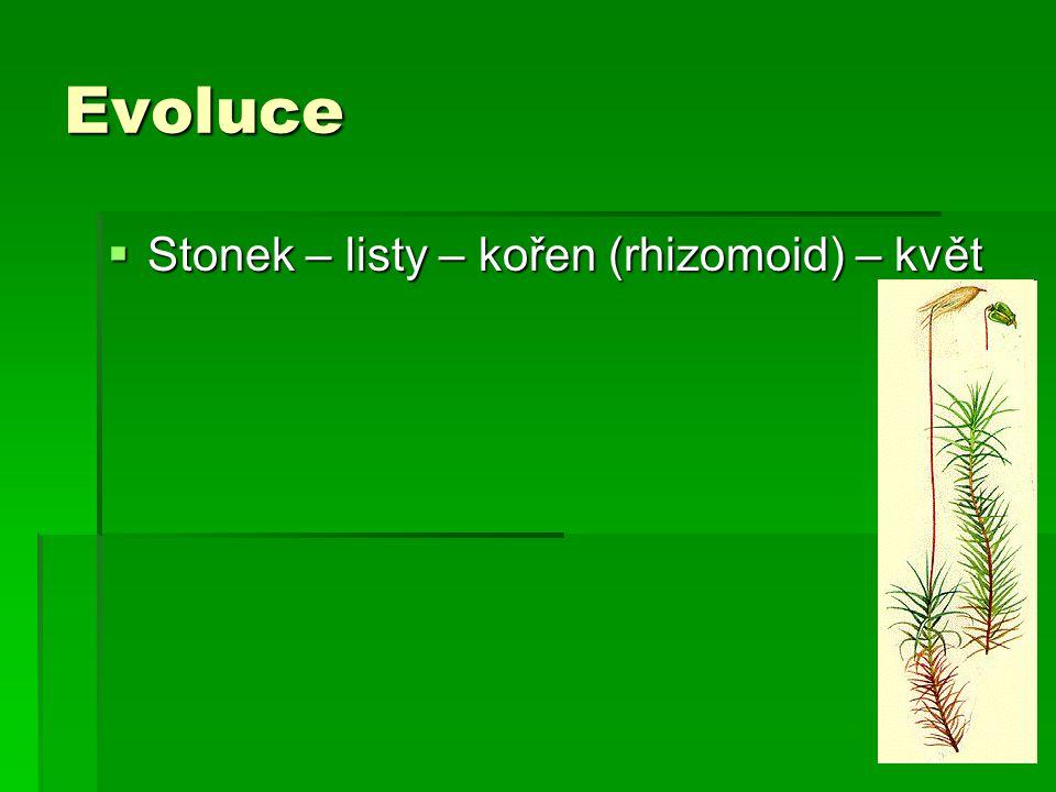 Evoluce Stonek – listy – kořen (rhizomoid) – květ