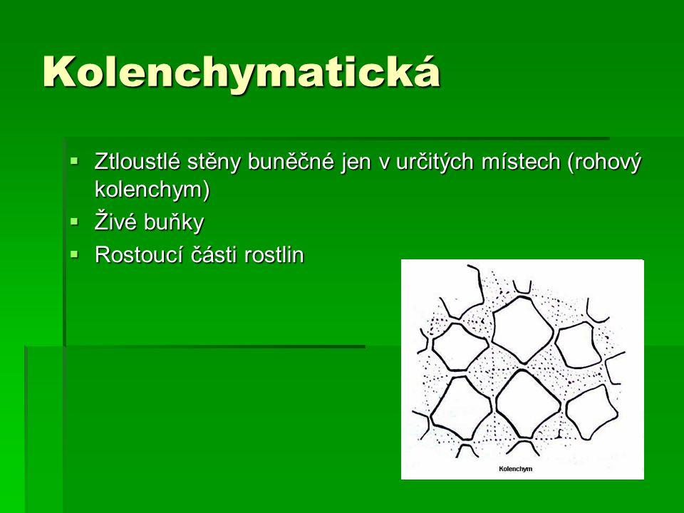 Kolenchymatická Ztloustlé stěny buněčné jen v určitých místech (rohový kolenchym) Živé buňky.