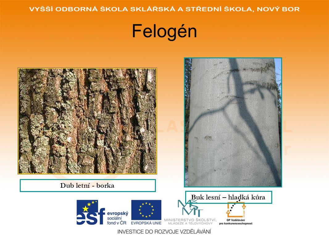 Felogén Dub letní - borka Buk lesní – hladká kůra