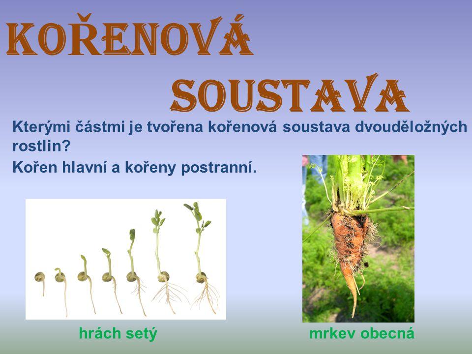KOŘENOVÁ SOUSTAVA. Kterými částmi je tvořena kořenová soustava dvouděložných. rostlin Kořen hlavní a kořeny postranní.