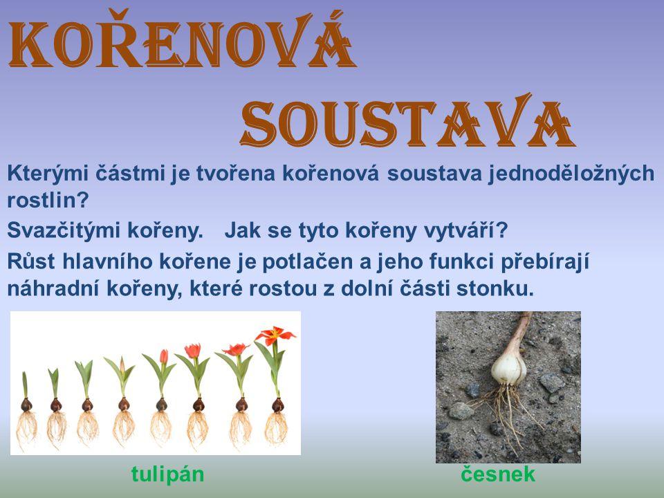 KOŘENOVÁ SOUSTAVA. Kterými částmi je tvořena kořenová soustava jednoděložných. rostlin Svazčitými kořeny.