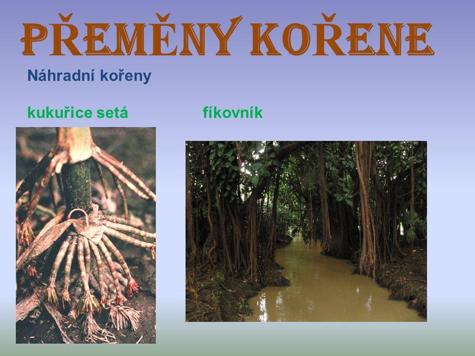 PŘEMĚNY KOŘENE Náhradní kořeny kukuřice setá fíkovník