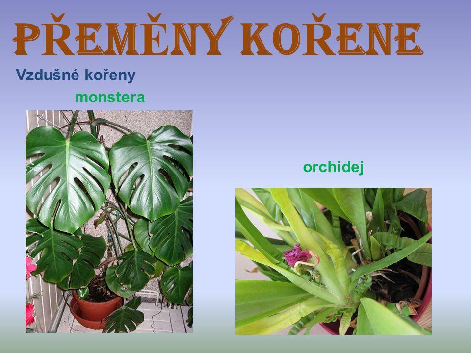 PŘEMĚNY KOŘENE Vzdušné kořeny monstera orchidej