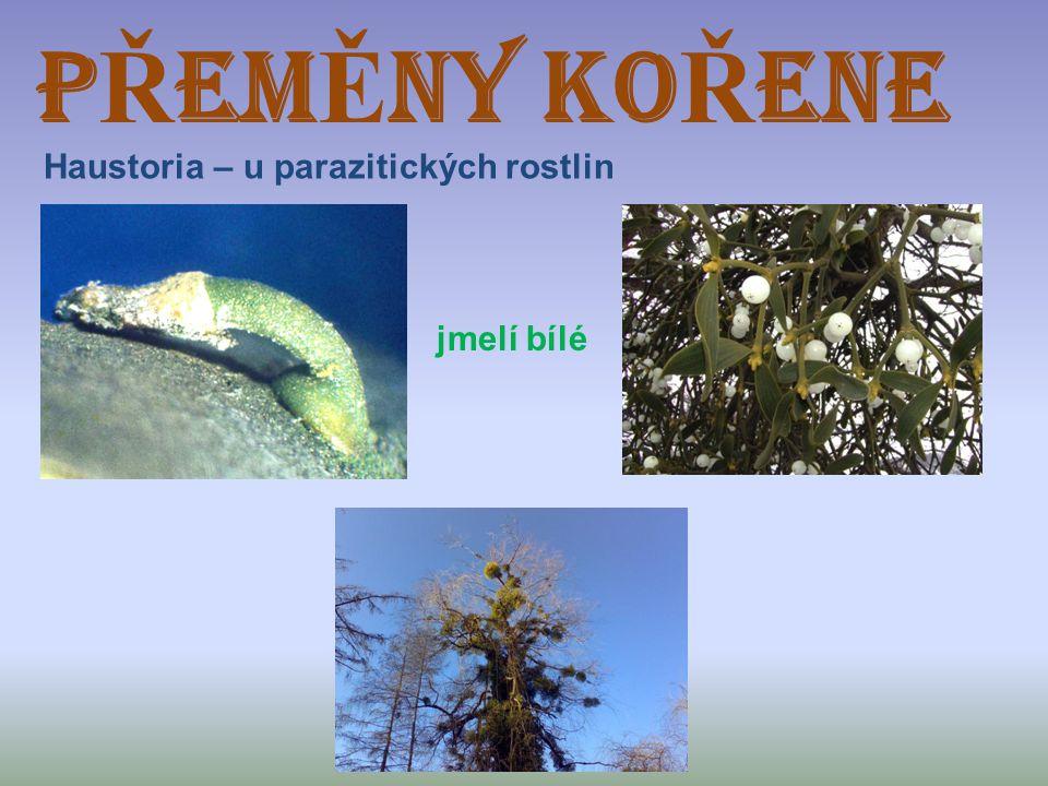 PŘEMĚNY KOŘENE Haustoria – u parazitických rostlin jmelí bílé