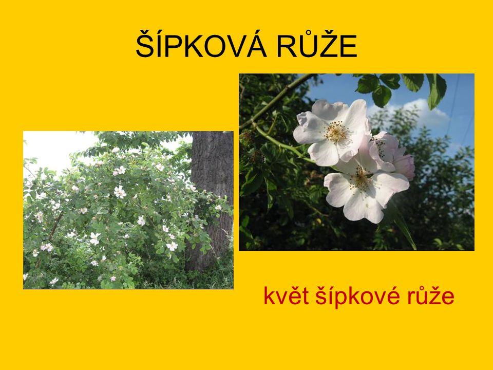 ŠÍPKOVÁ RŮŽE květ šípkové růže
