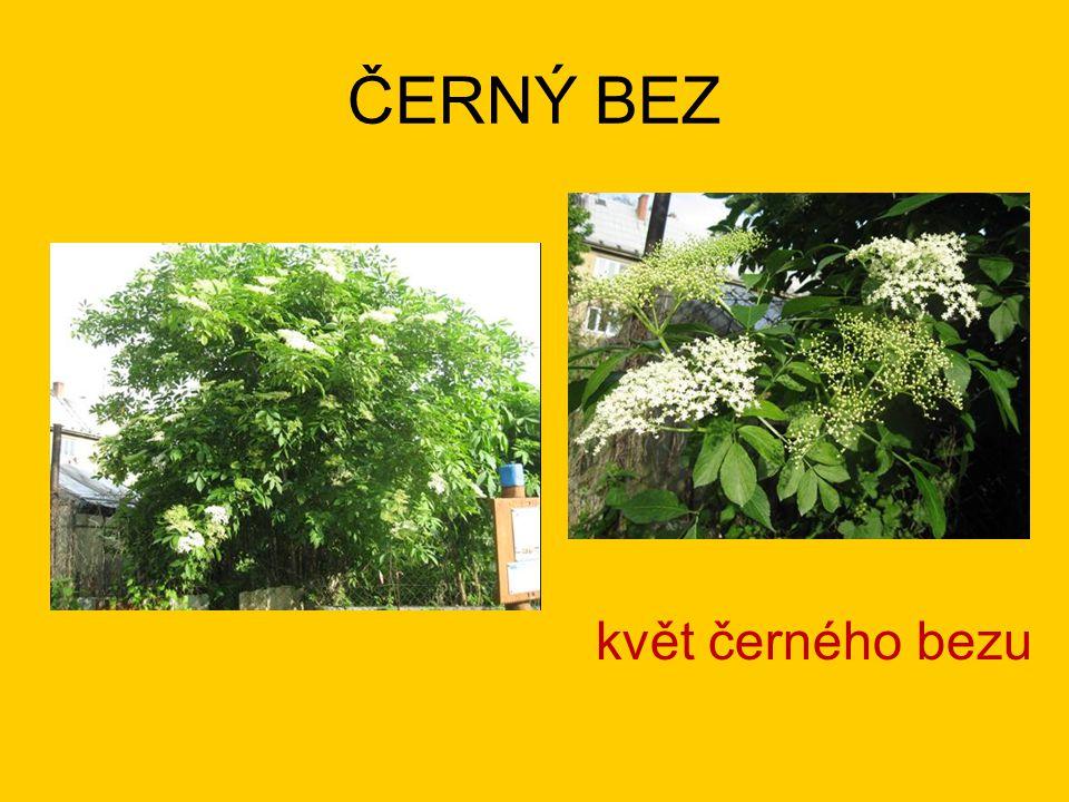 ČERNÝ BEZ květ černého bezu