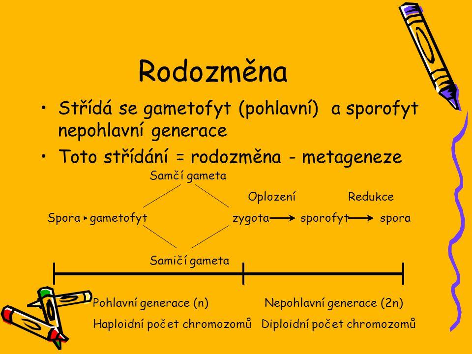 Rodozměna Střídá se gametofyt (pohlavní) a sporofyt nepohlavní generace. Toto střídání = rodozměna - metageneze.