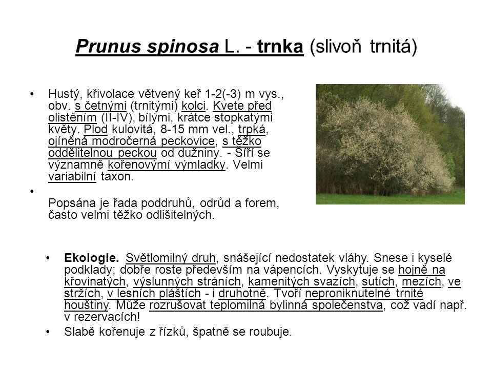 Prunus spinosa L. - trnka (slivoň trnitá)