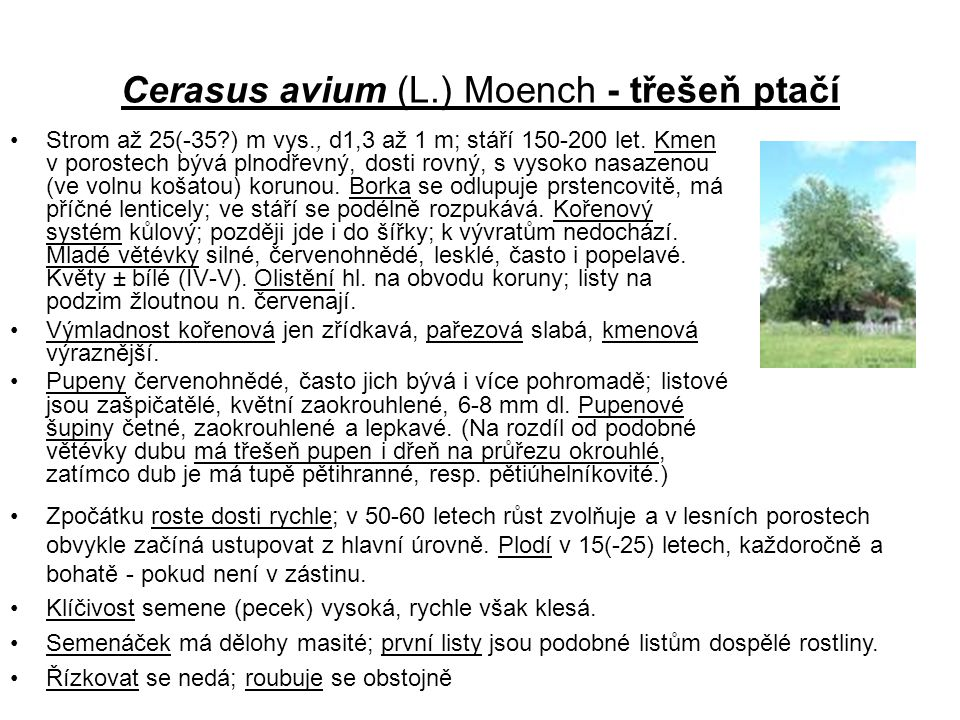 Cerasus avium (L.) Moench - třešeň ptačí
