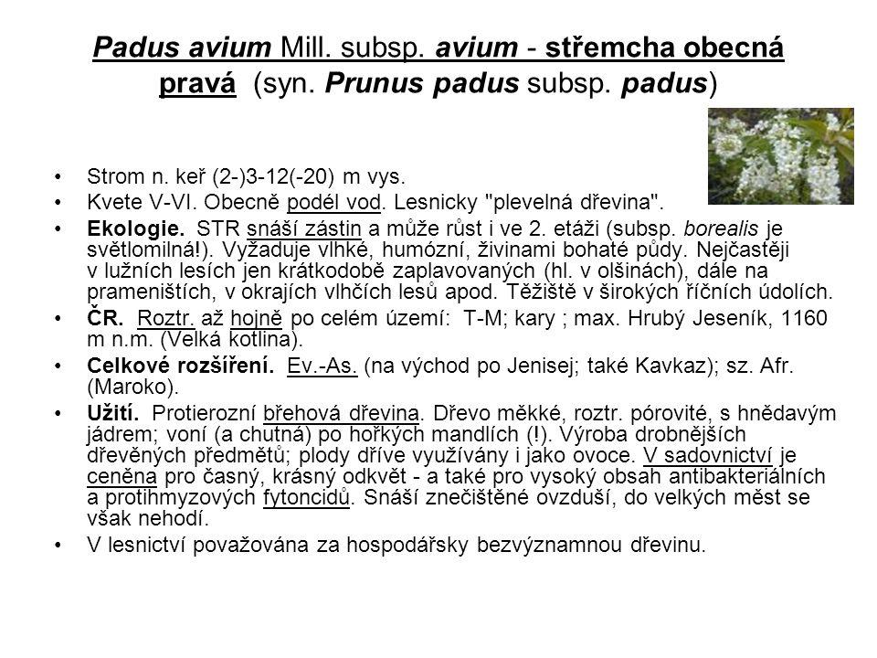 Padus avium Mill. subsp. avium - střemcha obecná pravá (syn