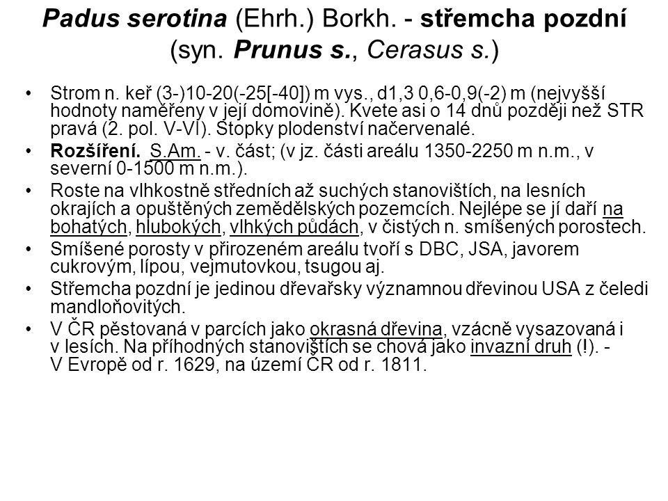 Padus serotina (Ehrh. ) Borkh. - střemcha pozdní (syn. Prunus s
