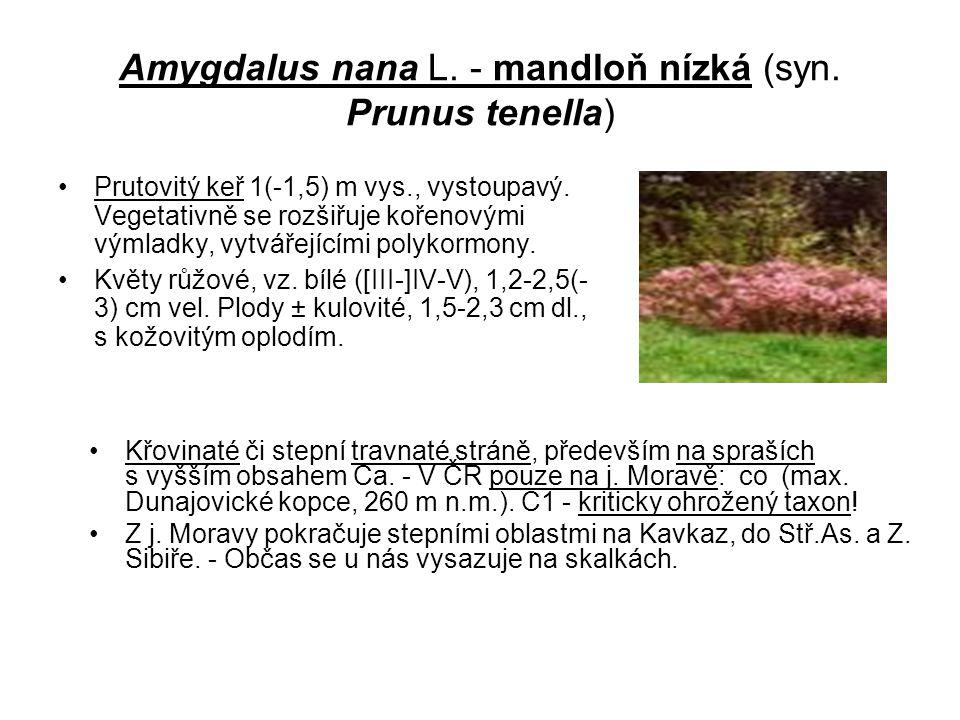 Amygdalus nana L. - mandloň nízká (syn. Prunus tenella)