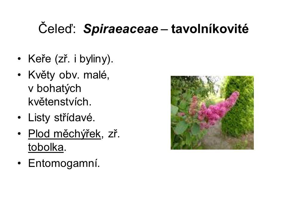 Čeleď: Spiraeaceae – tavolníkovité