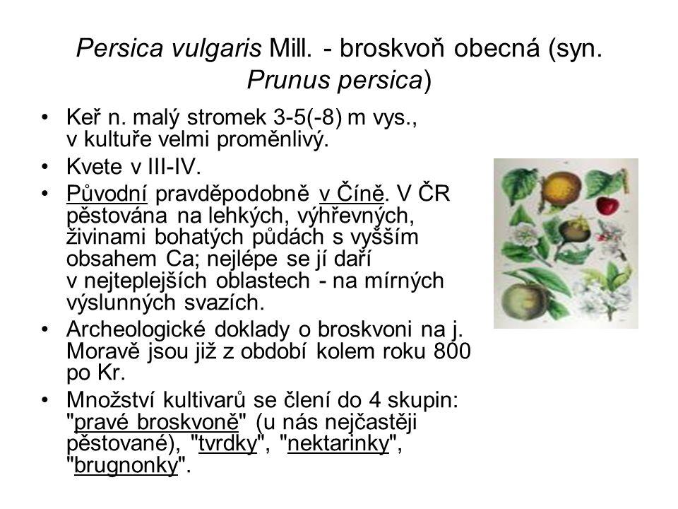 Persica vulgaris Mill. - broskvoň obecná (syn. Prunus persica)