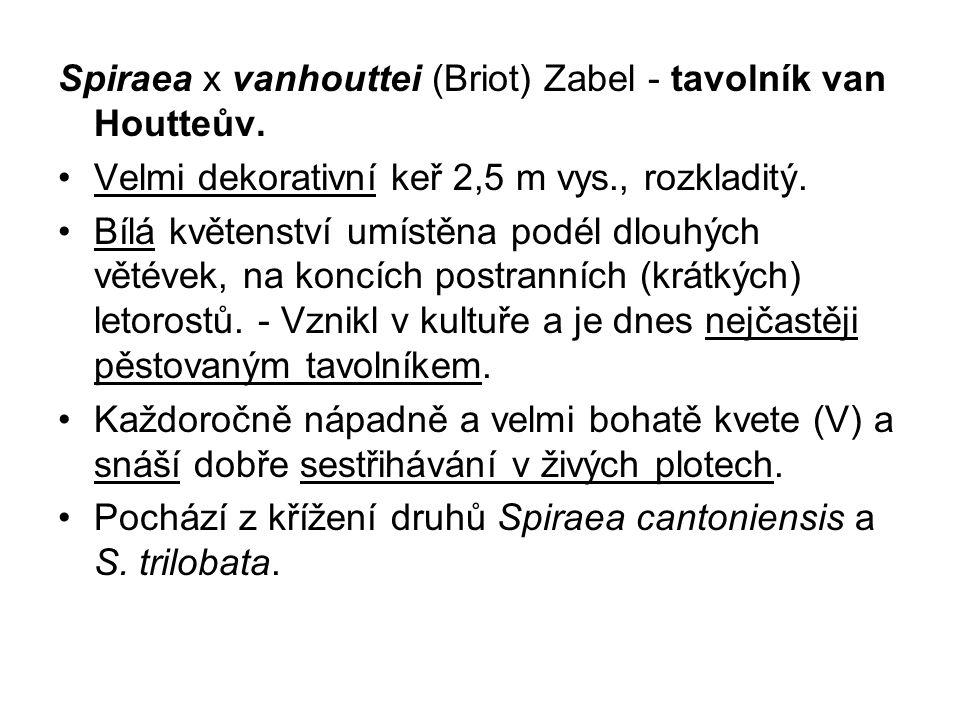 Spiraea x vanhouttei (Briot) Zabel - tavolník van Houtteův.