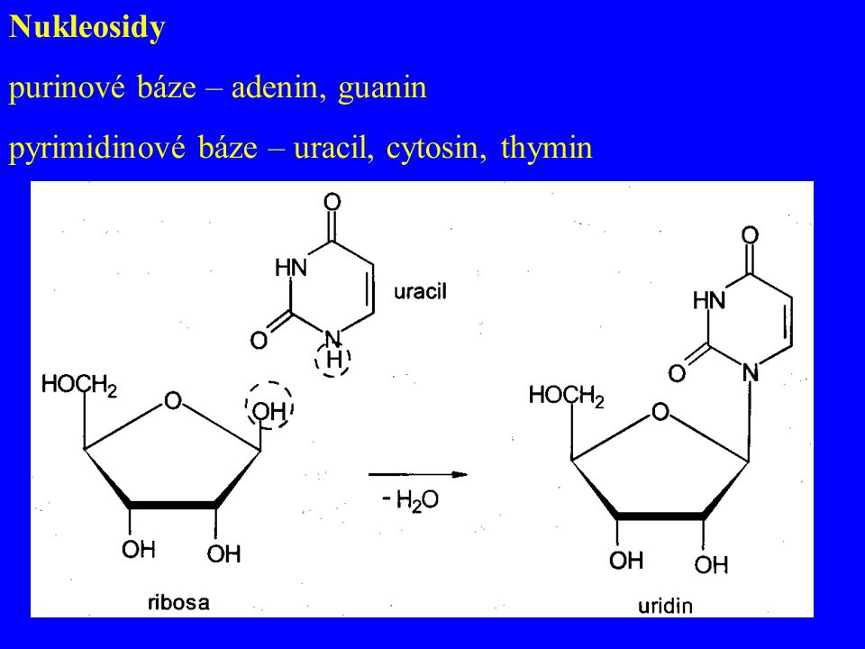 Nukleosidy purinové báze – adenin, guanin pyrimidinové báze – uracil, cytosin, thymin