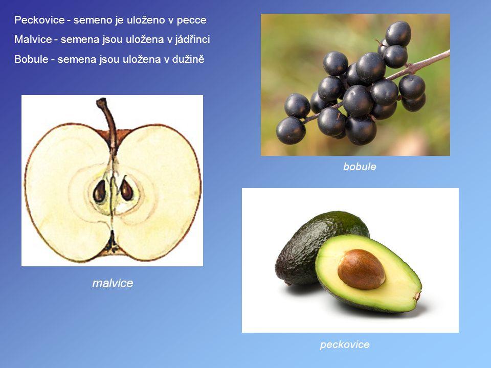 malvice Peckovice - semeno je uloženo v pecce