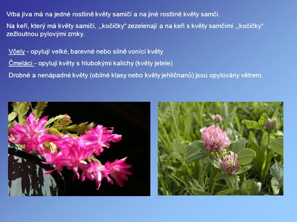 Vrba jíva má na jedné rostlině květy samičí a na jiné rostlině květy samčí.