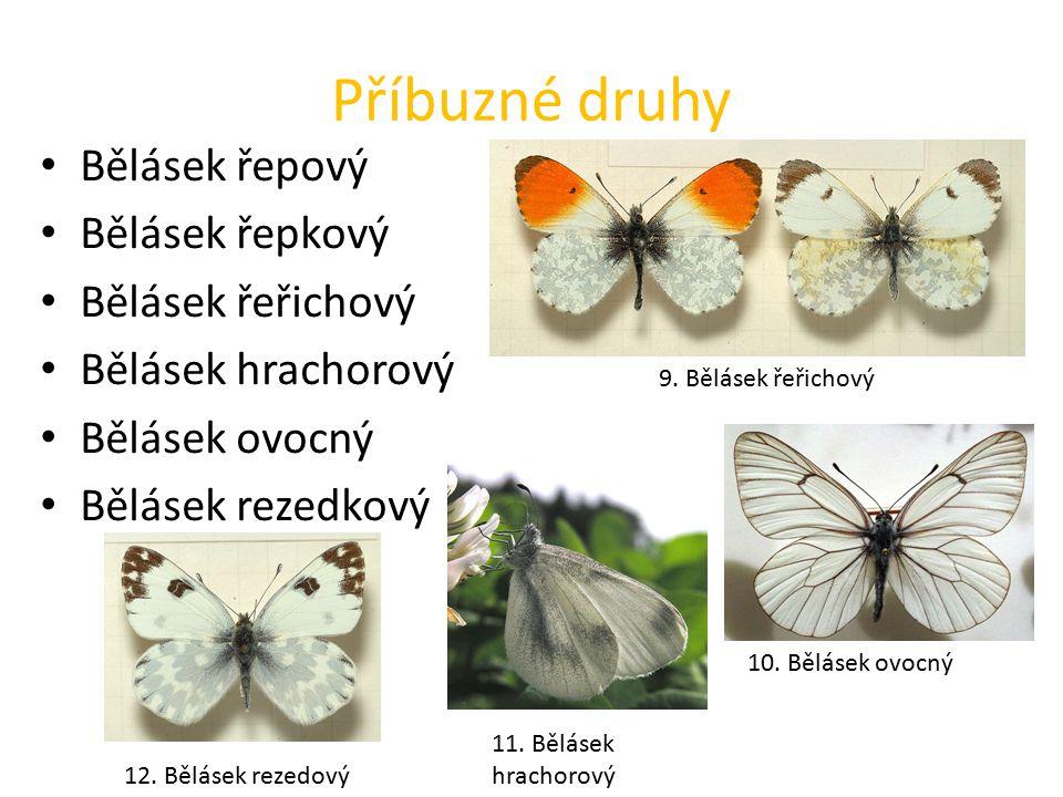 Příbuzné druhy Bělásek řepový Bělásek řepkový Bělásek řeřichový