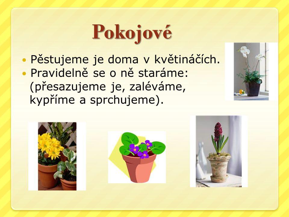 Pokojové Pěstujeme je doma v květináčích. Pravidelně se o ně staráme: