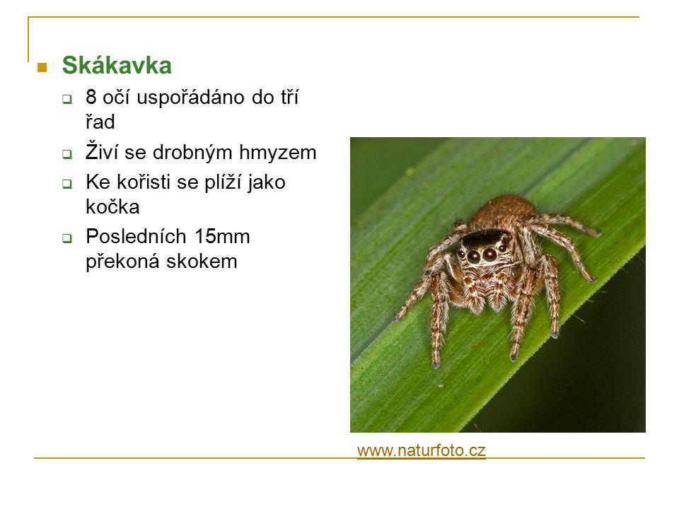 Skákavka 8 očí uspořádáno do tří řad Živí se drobným hmyzem