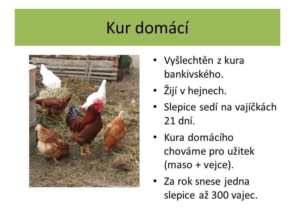 Kur domácí Vyšlechtěn z kura bankivského. Žijí v hejnech.