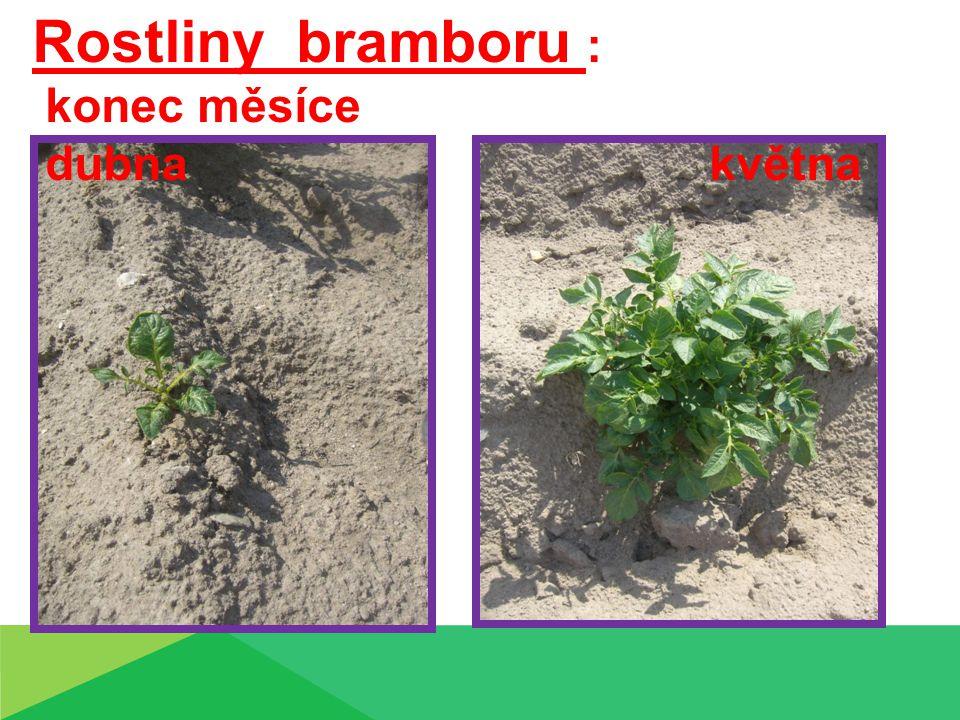Rostliny bramboru : konec měsíce dubna května Rostliny bramboru :