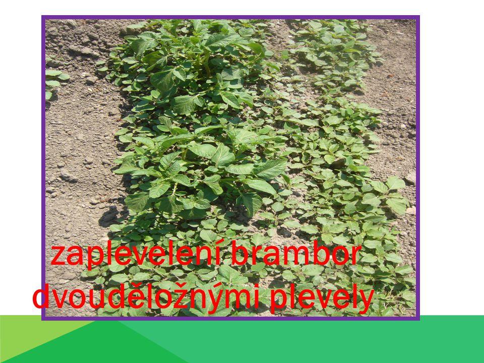 zaplevelení brambor dvouděložnými plevely